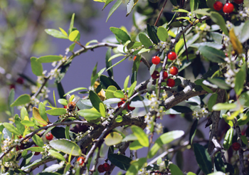 large flowering shrub
