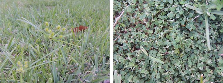 Managing Weeds in Florida Lawns