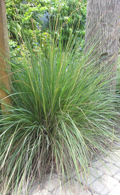 Ornamental Grasses Florida Florida friendly ornamental grasses fcap fakahatchee grass workwithnaturefo